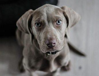 Нагръдници на кучета с тежести